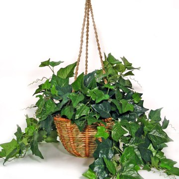 09-English-ivy-Hedera-helix